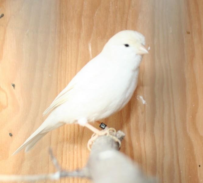 dominantní bílý samec