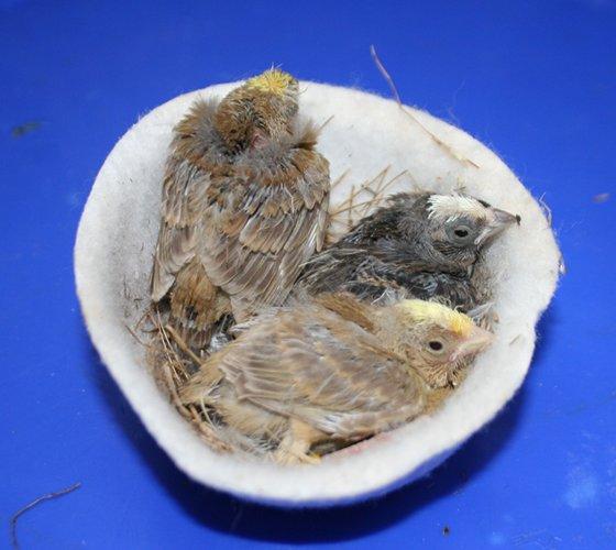 hnízdo s lizardy - 2 červenoocí a 1 klasický