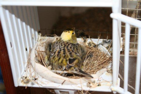u nás odchovaná samice na hnízdě